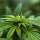 Club de cannabis en Espagne
